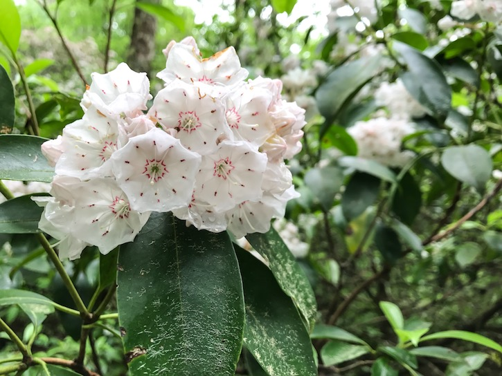 Highlands North Carolina Mountain Laurel